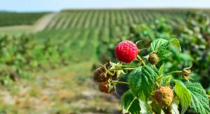Rosja: plantacje malin w Lipiecku będą powiększane o ponad 40 ha rocznie