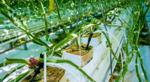 Choroba szalonych korzeni w uprawach szklarniowych