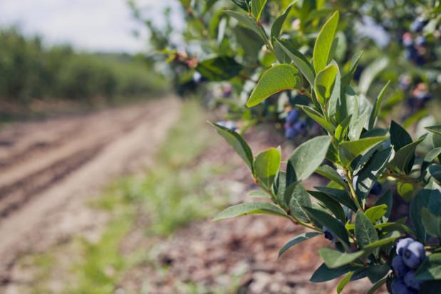 Thekopsora minima – możliwym zagrożeniem dla upraw borówki w Polsce