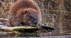 Warmińsko-mazurskie: ogrodzenia zmniejszą szkody wyrządzane przez bobry i wilki