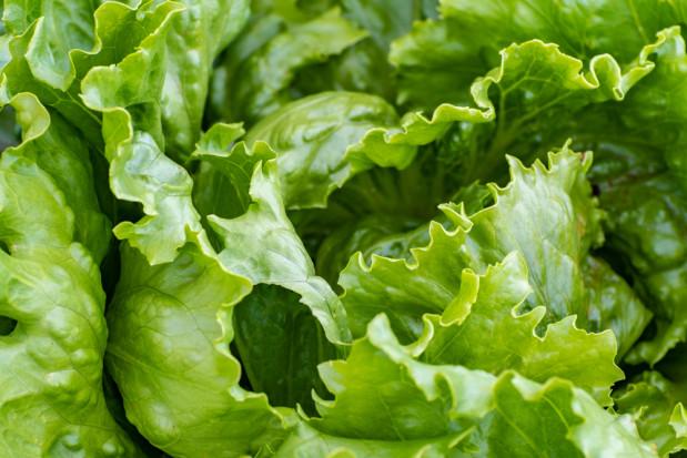 Holandia: nowe odmiany sałaty do uprawy w gruncie i hydroponice
