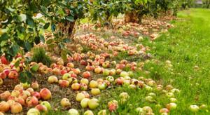 Sadownicy czekają na uruchomienie interwencyjnego skupu. ZSRP: do tej pory zgniło ok. 1 mln ton jabłek