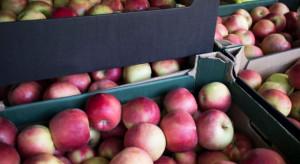 Słaby eksport polskich jabłek, mimo rekordowo niskich cen