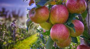 Wysokie zbiory jabłek w UE nasilą konkurencję na rynkach zagranicznych