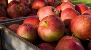 Fuji jest najdroższą odmianą jabłek na rynku rosyjskim