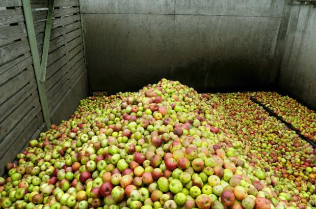 Analiza: Ceny jabłek przemysłowych w Polsce wahają się między 6-15 gr/kg