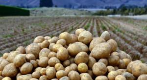 Z powodu zmian klimatu producenci będą odchodzić od upraw ziemniaka?