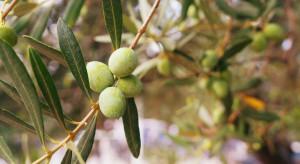 Chorwacja: Odkryto ślady sadów oliwnych sprzed 3500 lat