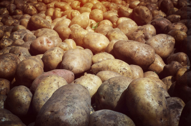 Plonowanie ziemniaka w 2018 r. wg badań COBORU