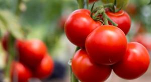 Eksport ukraińskich pomidorów został zawieszony