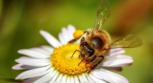 Stany Zjednoczone: Pszczoły miodne zagrożone z powodu środków na komary