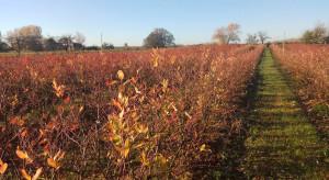 Jak zadbać o plantację borówki przed zimą?