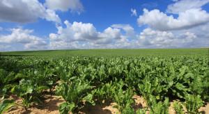 Czasowe zezwolenie dla stosowania zapraw neonikotynoidowych w uprawie buraków cukrowych