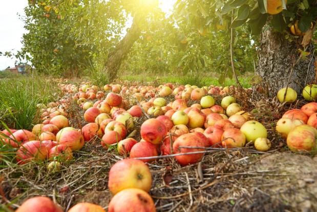 Zakłady przetwórcze ograniczają skup jabłek. Więcej owoców trafia na pole