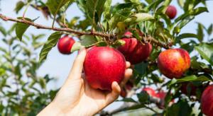 """Akcja """"otwarty sad"""" w Grudyni: Nie brakuje chętnych do zbioru jabłek"""