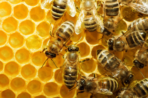 Powstał pokarm dla pszczół. Owady będą mieć większą efektywność zapylania