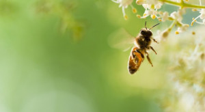 Ekolodzy donoszą do prokuratury na ministra rolnictwa ws. szkodliwych dla pszczół pestycydów