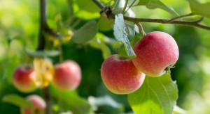 Szwajcaria: Jabłka są małe - wszystko z powodu suszy