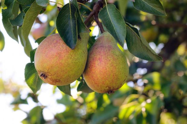 Bułgaria: Krajowy popyt zwiększył produkcję gruszek o ponad 40%