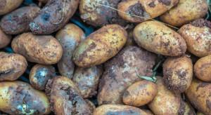 Niedobór ziemniaków w Kanadzie. Warzywa zgniły na polach