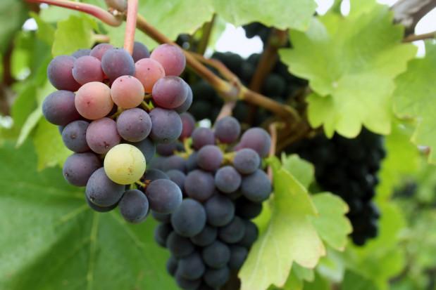 Rynek Bronisze coraz szerzej współpracuje z mołdawskimi producentami winogron