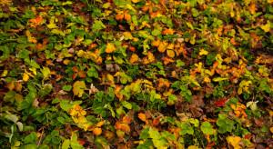 Plantatorzy truskawek zakończyli przygotowania upraw do zimy