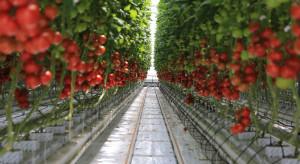 Pomidory z niemieckiej szklarni dostępne w sklepach Kaufland przez cały rok