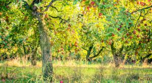 Ukraina: Jabłka z dzikich sadów są wysyłane do UE jako ekologiczne