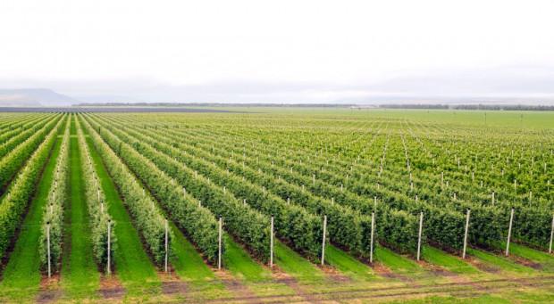GUS o zmianach zachodzących w produkcji sadowniczej – jabłoń