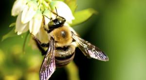 Naukowcy: Dzikie pszczoły mają wpływ na jakość owoców w uprawach borówek amerykańskich