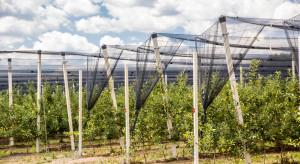 Czy wzrośnie produkcja jabłek i gruszek w Argentynie ?