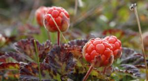 Fińskie owoce leśne naturalnym sposobem na superbakterie