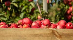 Produkcja jabłek w UE wzrosła o 41,7% w 2018 r.