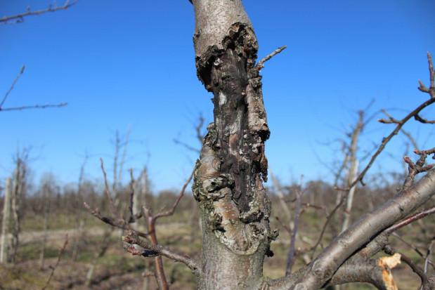 Rak drzew owocowych – zwalczania zimą