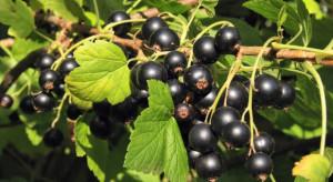 Czy planowana podwyżka stawki VAT na nektary i napoje pogrąży plantatorów czarnej porzeczki ?