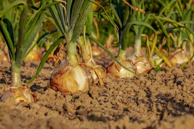 GUS: ponad 10% spadek w produkcji warzyw gruntowych w 2018 r.