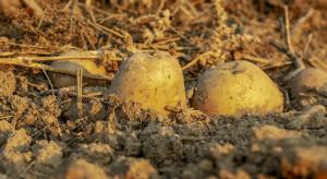 GUS: Zbiory ziemniaków mniejsze od ubiegłorocznych o 18 proc.