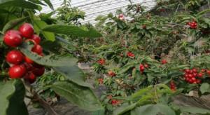 Chiny rozwijają produkcję winogron i czereśni w szklarniach