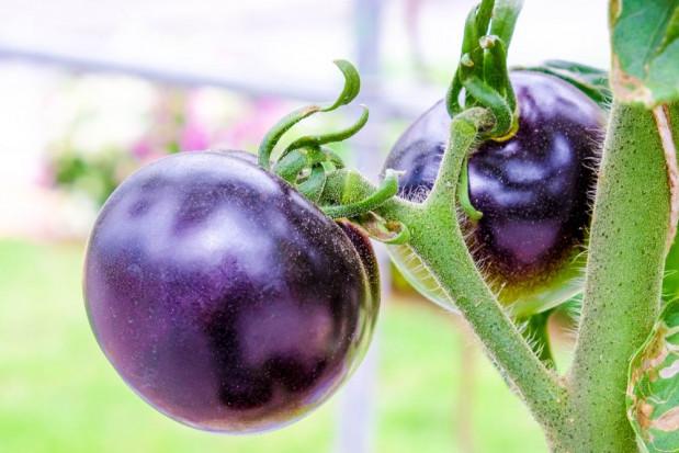 Nowa odmiana pomidorów o fioletowych owocach