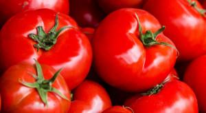 Holandia: Mniejszy eksport pomidorów w 2018 roku