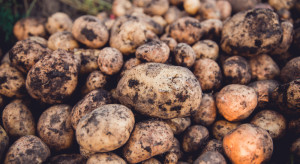 COBORU: Zarejestrowano pięć nowych odmian ziemniaka