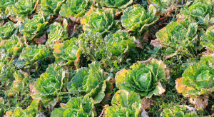 Choroby warzyw gruntowych dużym wyzwaniem dla plantatorów