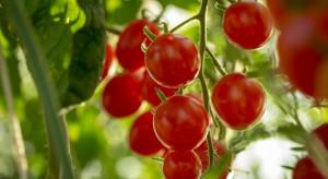 KE przewiduje spowolnienie wzrostu produkcji i konsumpcji pomidorów