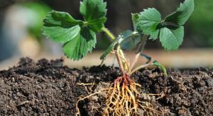 Choroby glebowe w uprawach jagodowych