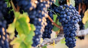 Od czego zależy powodzenie w uprawie winorośli?