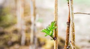 W Polsce wciąż kwitnie szara strefa obrotu sadzonkami roślin jagodowych