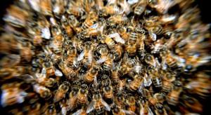 Zarejestrowany na eRolnik.gov.pl pszczelarz otrzyma alert o planowanych w pobliżu opryskach śor
