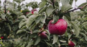 Wzrost produkcji jabłek w Polsce niepokoi