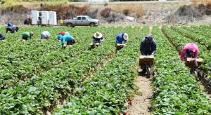 Hiszpania: producenci truskawek mają problemy z pozyskiwaniem pracowników