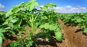 Jakie odmiany ziemniaka sadzić w woj. pomorskim?